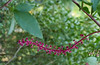 "Pokeweed <I>(Phytolacca americana)</I> fruiting in the ""Woodland Walk"" natives garden Brookside Gardens, Wheaton, MD"
