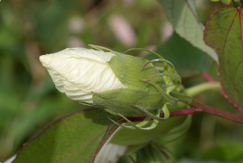 Crimsoneyed rosemallow (<i>Hibiscus moscheutos</i> aka <i>H. palustris</i>) flower bud at Hughes Hollow McKee-Beshers Wildlife Mgt Area, Poolesville, MD