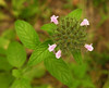Mountain mint (<I>Pycnanthemum </I>sp.) Rachel Carson Conservation Park, Brookeville, MD