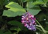 "Kudzu (<i>Pueraria lobata</i>) in flower <span class=""nonNative"">[non-native invasive]</span> Point Lookout State Park, Scotland, MD"
