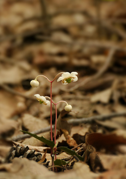 Spotted wintergreen (<I>Chimaphila maculata</I>) in flower R. R. Guest Shenandoah River State Park, Bentonville, VA