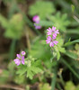 "Small geranium, <i>aka</i> Small-flowered cranesbill (<i>Geranium pusillum</i>) <span class=""nonNative"">[non-native]</span> McKee-Beshers Wildlife Mgt Area, Poolesville, MD"