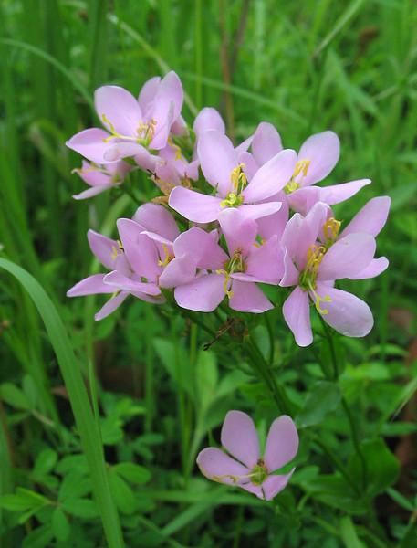 Rose pink (<I>Sabatia angularis</I>) Seneca Creek Greenway Trail, Upper Montgomery County, MD