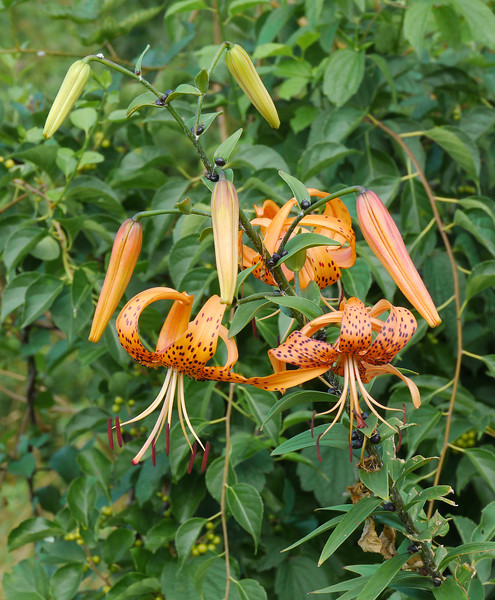 "Asiatic tiger lily (<i>Lilium lancifolium</i>) on rural roadside  <span class=""nonNative"">[non-native]</span> Near Catoctin Mountain Park, Frederick County, MD"