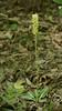 Downy rattlesnake plantain (<i>Goodyera pubescens</i>) in woods Little Bennett Regional Park, Clarksburg, MD