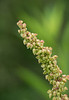 """Curly dock (<i>Rumex crispus</i>) in fruit <span class=""""nonNative"""">[non-native]</span> McKee-Beshers Wildlife Mgt Area, Poolesville, MD"""