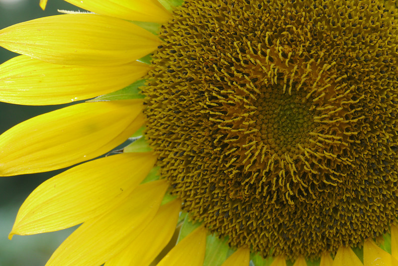 """Sunflower (<i>Helianthus annuus</i>) <span class=""""nonNative"""">[non-native, crop planting]</span> McKee-Beshers Wildlife Mgt Area, Poolesville, MD"""