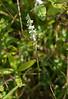 Nodding (?) ladies' tresses (<i>Spiranthes cernua</i>) in meadow Little Bennett Regional Park, Clarksburg, MD