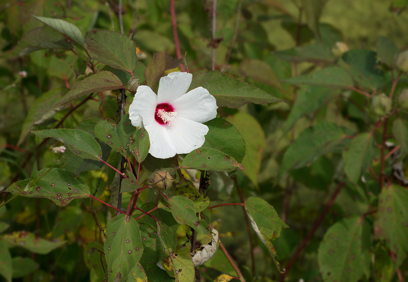 Crimsoneyed rosemallow (<i>Hibiscus moscheutos</i> aka <i>H. palustris</i>) at Hughes Hollow McKee-Beshers Wildlife Mgt Area, Poolesville, MD