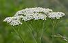 "Yarrow (<i>Achillea millefolium</i>) <span class=""nonNative"">[arguably non-native]</span> McKee-Beshers Wildlife Mgt Area, Poolesville, MD"