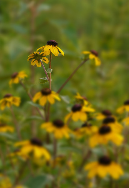 Black-eyed Susan (<I>Rudbeckia hirta</I> var. <I>pulcherrima</I>) at Hughes Hollow McKee-Beshers Wildlife Mgt Area, Poolesville, MD