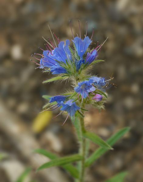 """Viper's bugloss (<i>Echium vulgare</i>) <span class=""""nonNative"""">[non-native]</span> Hupps Hill Karst Trail, Strasburg, VA"""