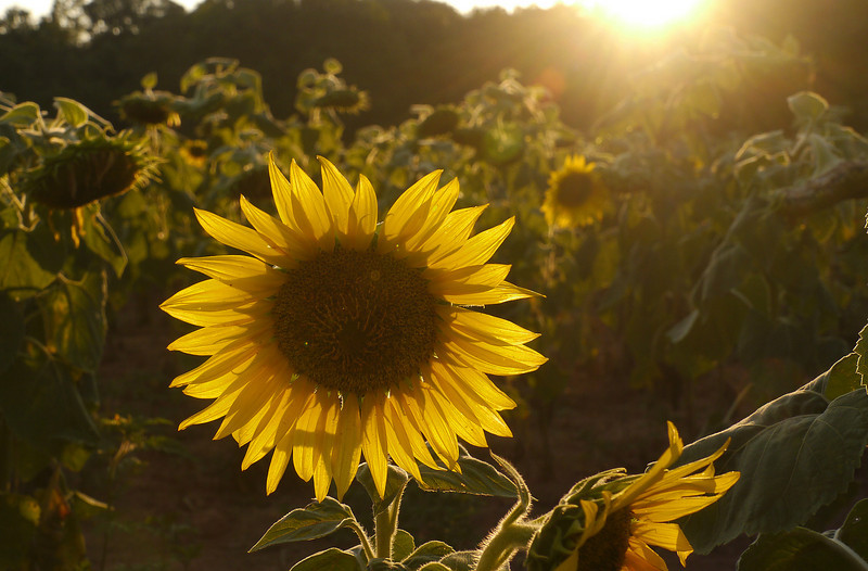 """Sunflower at sunset (<i>Helianthus annuus</i>) <span class=""""nonNative"""">[non-native, crop planting]</span> McKee-Beshers Wildlife Mgt Area, Poolesville, MD"""