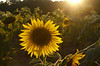 "Sunflower at sunset (<i>Helianthus annuus</i>) <span class=""nonNative"">[non-native, crop planting]</span> McKee-Beshers Wildlife Mgt Area, Poolesville, MD"