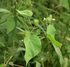 "Velvetleaf, <i>aka</i> Indian mallow (<i>Abutalon theophrasti</i>) at Hughes Hollow <span class=""nonNative"">[non-native]</span> McKee-Beshers Wildlife Mgt Area, Poolesville, MD"