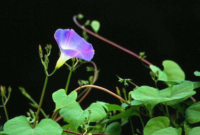 """Morning glory <span class=""""nonNative"""">[Non-native, garden planting]</span> climbing wall Brookside Gardens, Wheaton, MD"""