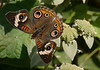 Buckeye (<I>Junonia coenia</I>) on short-toothed mountain mint (<I>Pycnanthemum muticum</I>) Woodend Sanctuary, Chevy Chase, MD