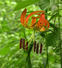 Turk's cap lily (<i>Lilium superbum</i>), <i>aka</i> American tiger lily (native) Jug Bay Wetlands Sanctuary, Lothian, MD