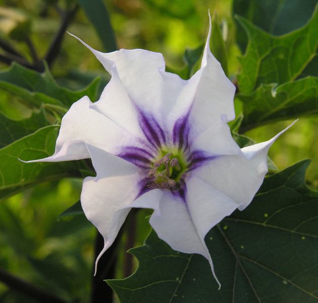 "Jimsonweed (<i>Datura stramonium</i>) flower <span class=""nonNative"">[arguably non-native]</span> Seneca Creek Greenway Trail near Germantown, MD"