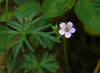 Small-flowered cranesbill (<I>Geranium pusillum</I>) G. Richard Thompson Wildlife Mgt. Area, Fauquier County, VA