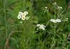 Daisy fleabane (<I>Erigeron annuus</I>) McKee-Beshers Wildlife Mgt Area, Poolesville, MD