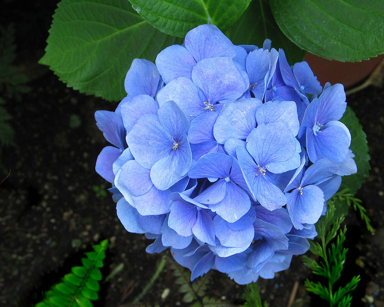 "Hydrangea in the conservatory <span class=""nonNative"">[non-native, garden planting]</span> Brookside Gardens, Wheaton, MD"