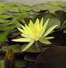 "Yellow water lily (<i>Nymphaea mexicana</i>) in Little Seneca Lake <span class=""nonNative"">[non-native, probably garden escape]</span> Black Hill Regional Park, Boyds, MD"