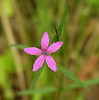 "Deptford pink (<i>Dianthus armeria</i>)  <span class=""nonNative"">[Non-native]</span> Rachel Carson Conservation Park, Brookeville, MD"