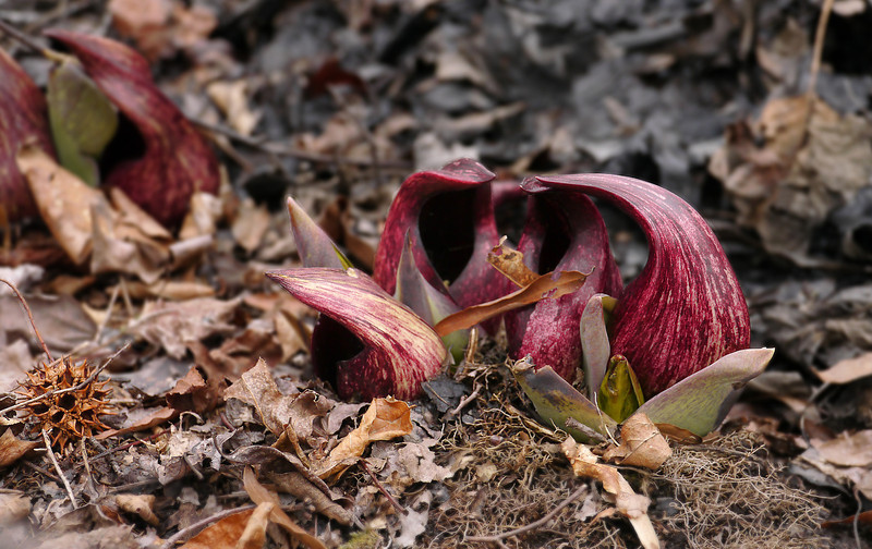 Skunk cabbage (<I>Symplocarpus foetidus</I>) flower in wetland Patuxent Ponds, Anne Arundel County, MD