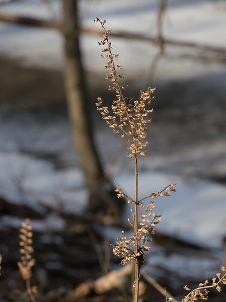 Winter Weeds: Dried perilla (<I>Perilla frutescens</I>) <span class=nonNative>[non-native invasive]</span> C&O Nat'l Historical Park - Sycamore Landing, Western Montgomery County, MD