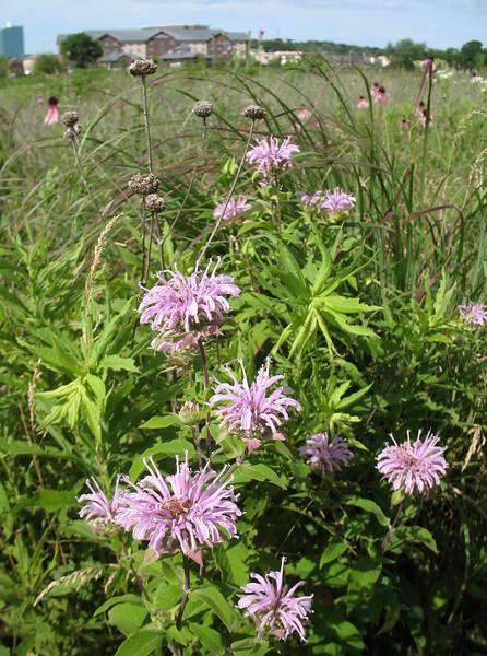 Wild bergamot (<I>Monarda fistulosa</I>) Middleton, WI