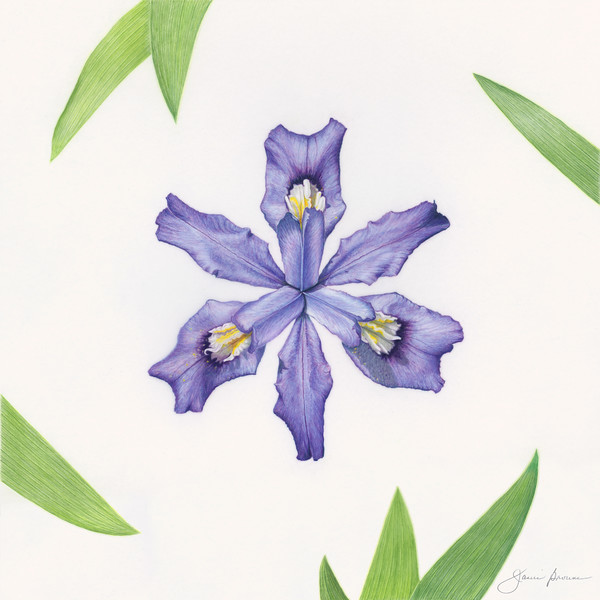 "Dwarf Crested Iris  (2017) Colored pencil on matte film - 13"" x 13"" Exhibited at ""Botanica 2017"" & ""Botanica 2019: The Art and Science of Plants"", Brookside Gardens, Wheaton, Maryland"