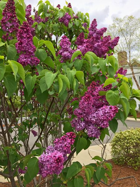 FL155 Nashua Lilacs 2