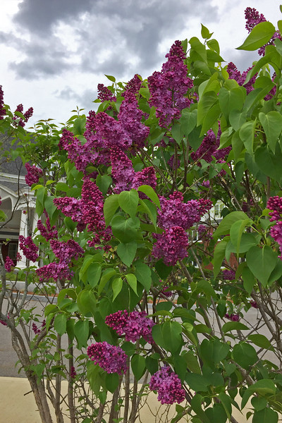 FL156 Nashua Lilac Bush at Hunt