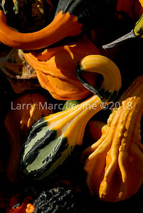 Orchard- Fall Gourds 101108 Photography by Larry Marc Levine Oct 11 08