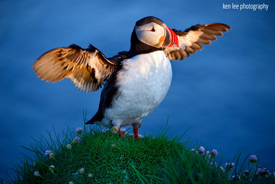 I Am Puffin, Hear Me Roar