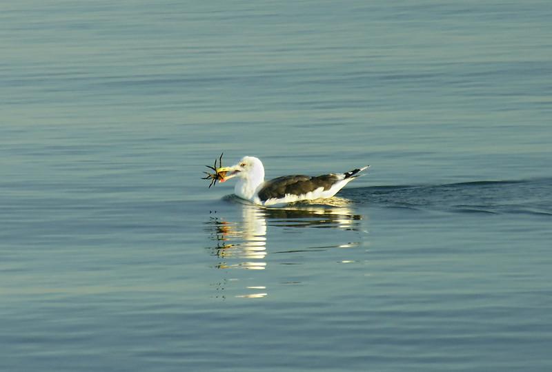 Great black-backed gull feeding on spider crab in Nantucket Sound<br /> West Dennis Beach, Cape Cod, MA