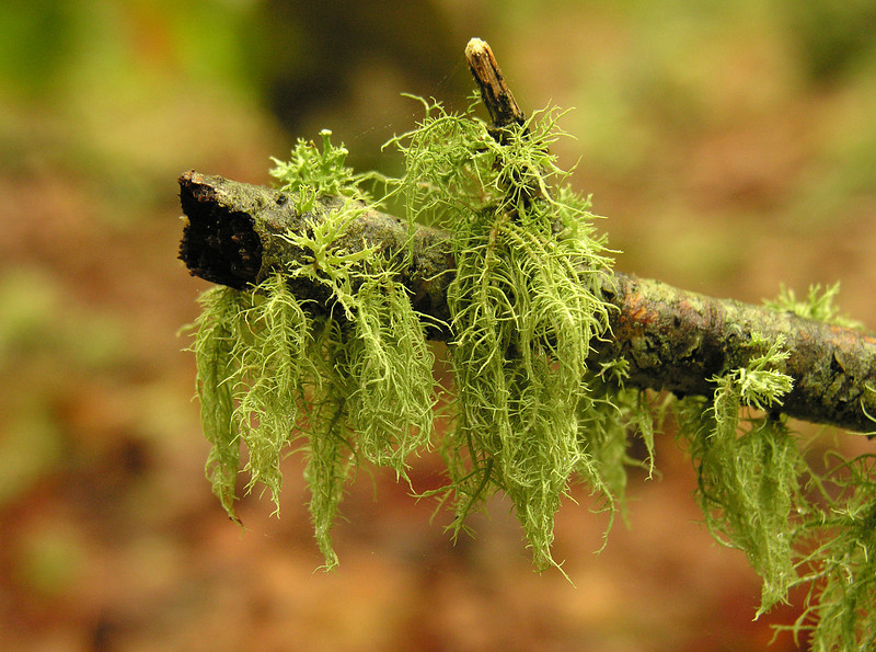Old man's beard lichen  (<I>Usnea sp.</I>)  along Wequasset Trail Cape Cod, MA