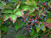 Virginia creeper (<I>Parthenocissus quinquefolia</I>) in fruit Plymouth, MA
