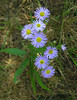 Asters along Cape Cod Rail Trail<br /> Brewster, Cape Cod, MA