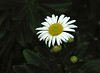 "Montauk daisy <span class=""nonNative"">(non-native, garden planting)</span> Harwichport, Cape Cod, MA"
