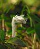Indian pipe  (<I>Monotropa uniflora</I>) flower Bell's Neck Conservation Area, Harwich, Cape Cod, MA