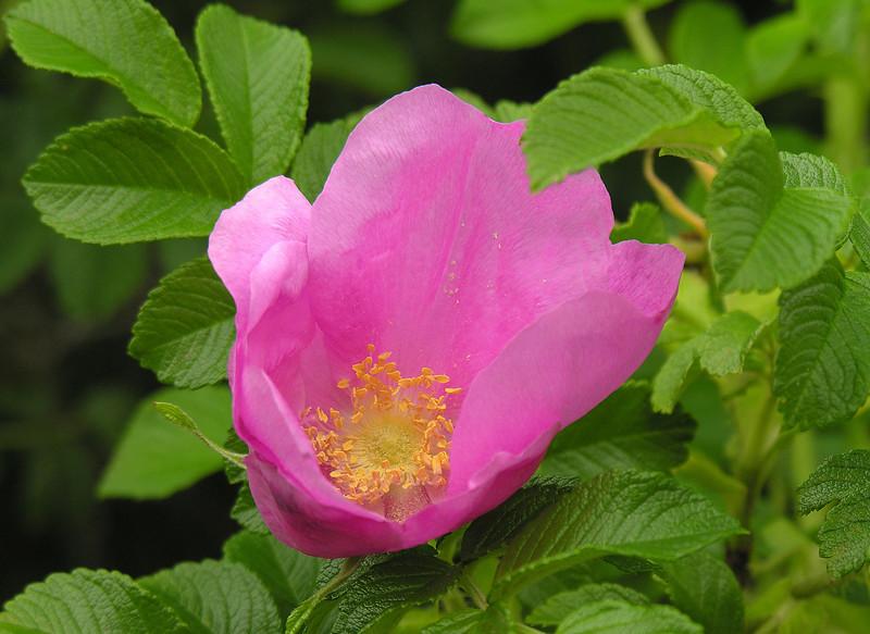 "Salt-spray rose (<i>Rosa rugosa</i>) <span class=""nonNative"">(non-native, naturalized)</span> Fort Hill, Cape Cod, MA"