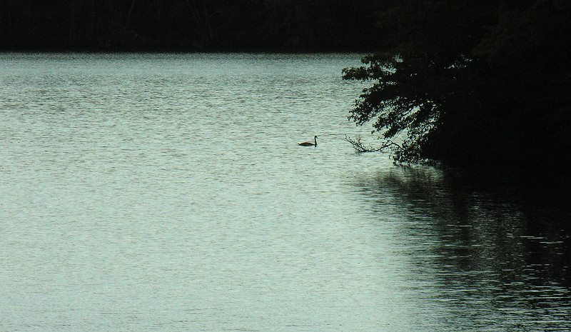 Tundra swan in silhouette on East Reservoir<br /> Bell's Neck Conservation Area, Cape Cod, MA