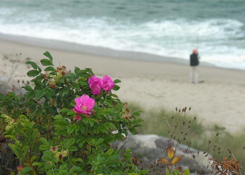 "Salt-spray roses (<i>Rosa rugosa</i>) <span class=""nonNative"">(non-native, naturalized)</span> and fisherman Chatham Light Beach, Chatham, Cape Cod, MA"