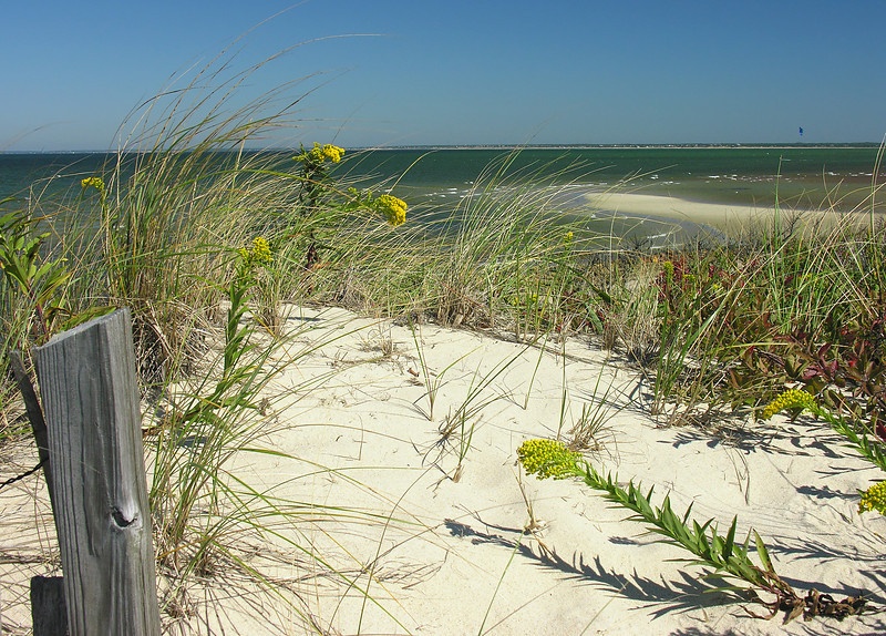 Fall wildflowers on dune by Cape Cod Bay<br /> Spruce Hill Conservation Area, Brewster, Cape Cod, MA
