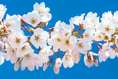 White Cherry Blossoms--Blue Sky