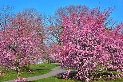 April 14_Breanch Brook Cherry Blossom Landscape_7664