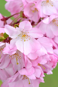 Pink Cherry Blossom Branch