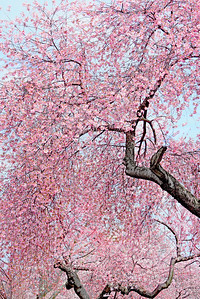 Flowering Cherry Blossom Tree